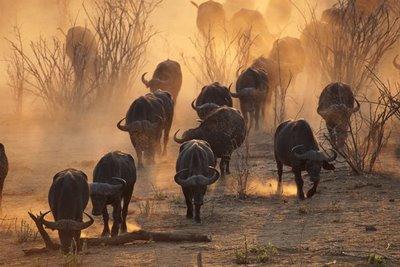 manada bufalos